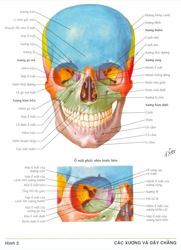 Hình ảnh trong sách Atlas giải phẫu người
